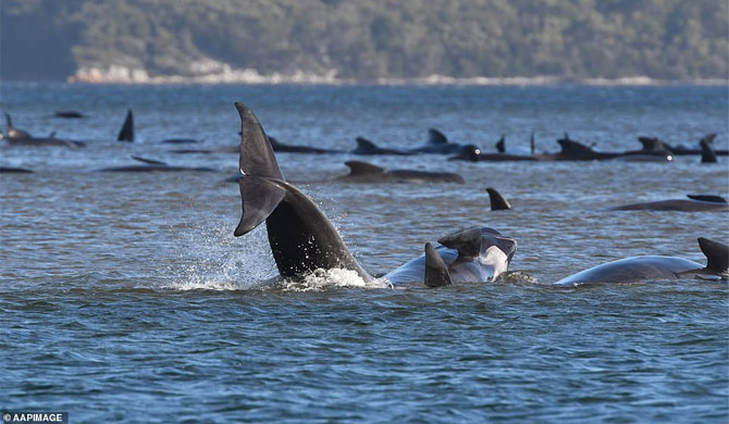 90 whales die in mass stranding off Tasmania (Video)