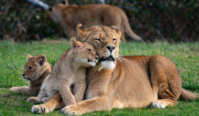 Lions at Barcelona zoo contract COVID-19